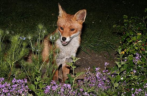 A fox update