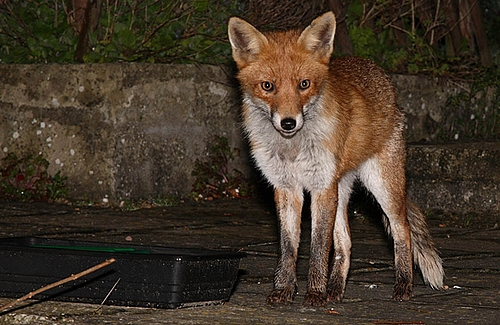But the star of the evening was the young nicked-ear vixen.