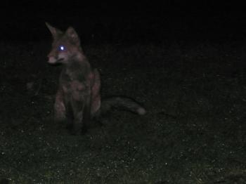 Media fox   russell davies: urban foxy