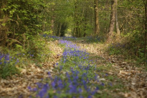 Bluebell path  (via  tumblr - maxcady808's Tagged Photos )