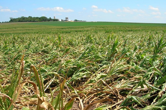 Corn that has fallen over or 'lodged' as a result of rootworm damage. Aaron Gassmann/Iowa State University