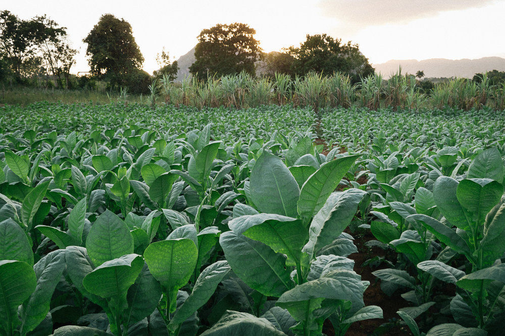 Rancho Alegre - A farm growing tobacco crops used in making cigars