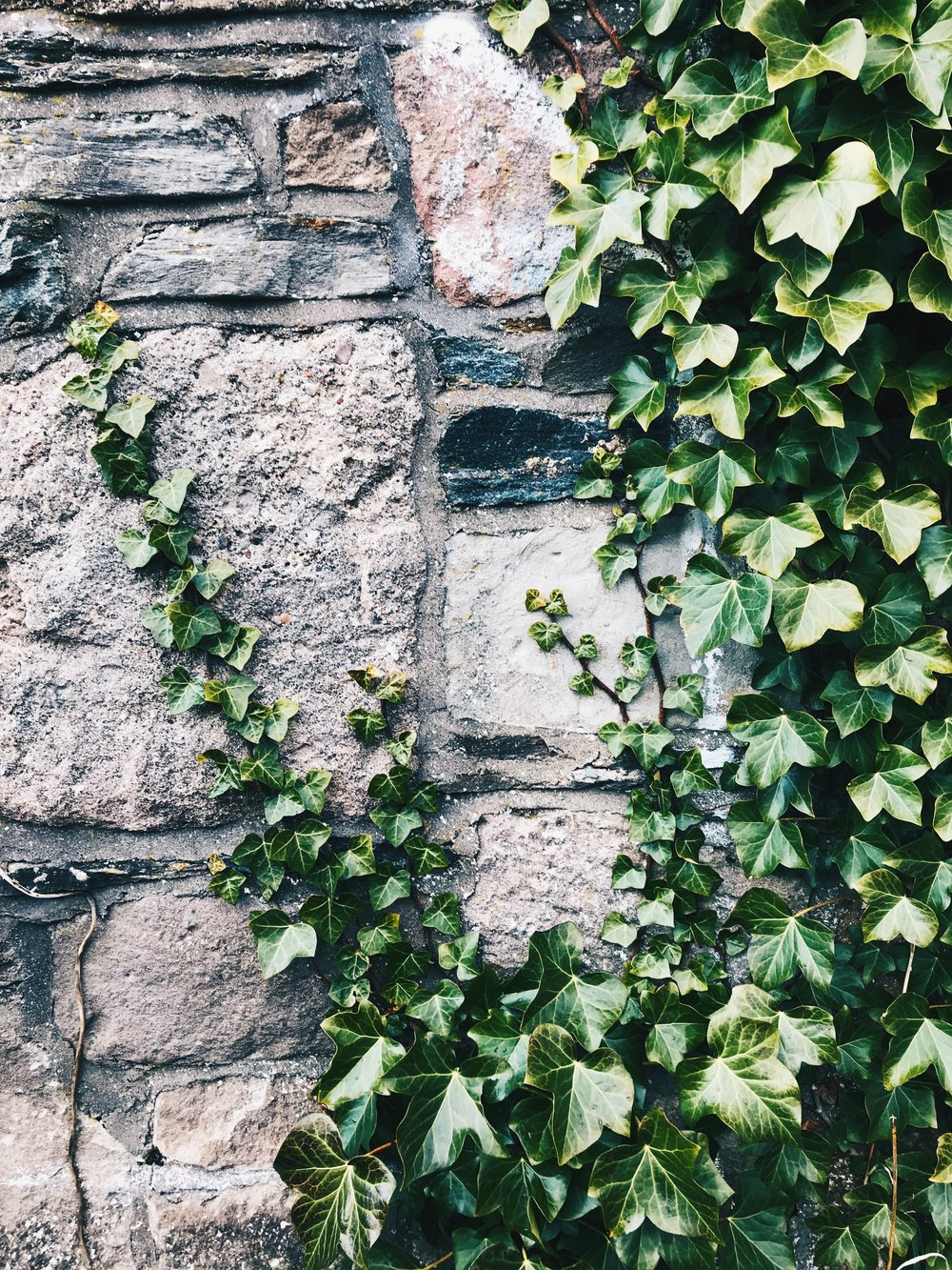 Ivy is gradually taking over the tower walls