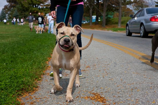 Response-a-Bull Rescue's Annual Bully Walk