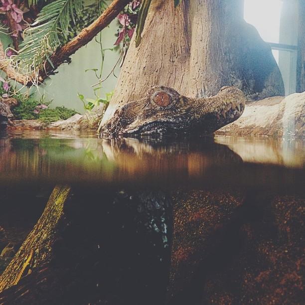 Baby Gator #vscocam (at Adventure Aquarium)