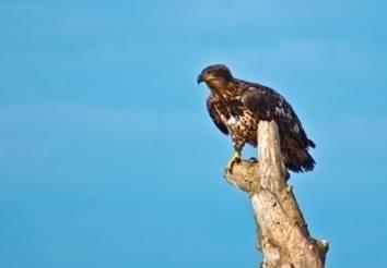 eagle, Jim Mason.jpg