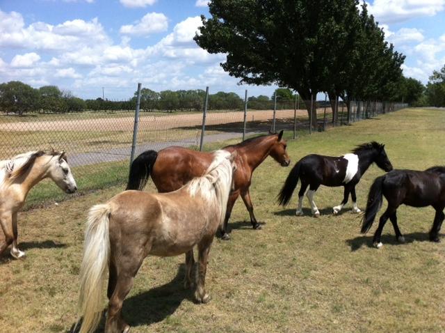 Watson Park ponies