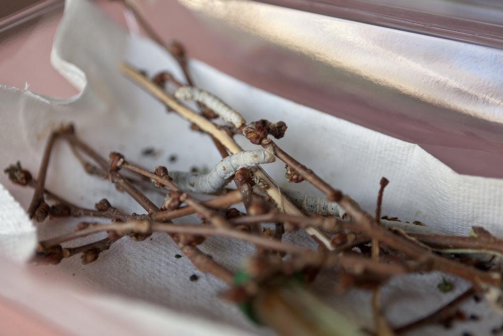 Renee Ricciardi Vivum ex Vivo Biogenesis 2 Silk Worms.jpg