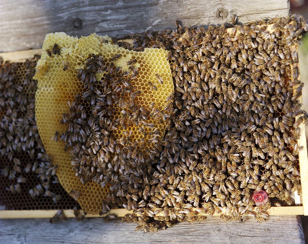 Renee Ricciardi Non Nobis Honeybees 8.jpg