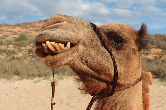 Fun Fact Friday 🧐  Did you know that camels have 3 eyelids, to protect their eyes from blowing sand? 🐪🐫 • • • #funfactfriday #cbwsfunfacts #cbws #cbwsfamily #teamcbws #centerforbabywearingstudies