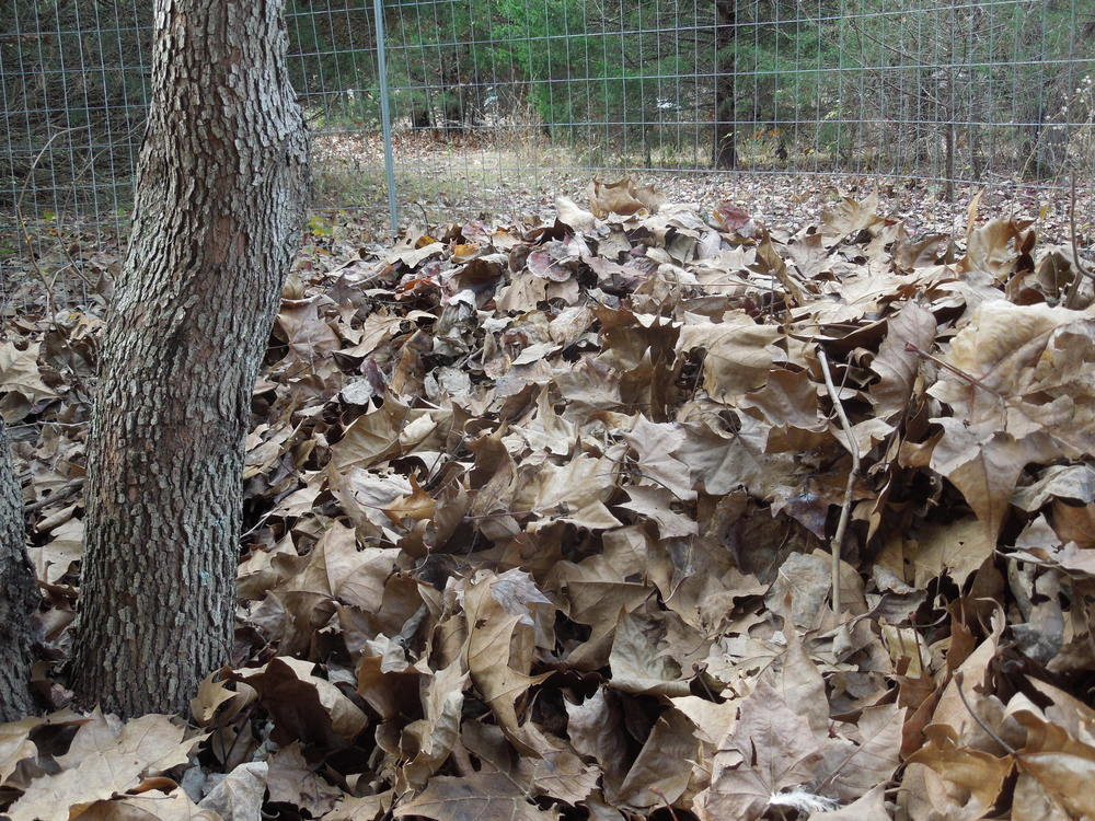 Start of the leaf mold pile this year.