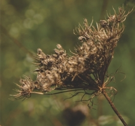 Mature seed head ready for harvest.