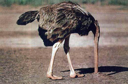 The Ostrich