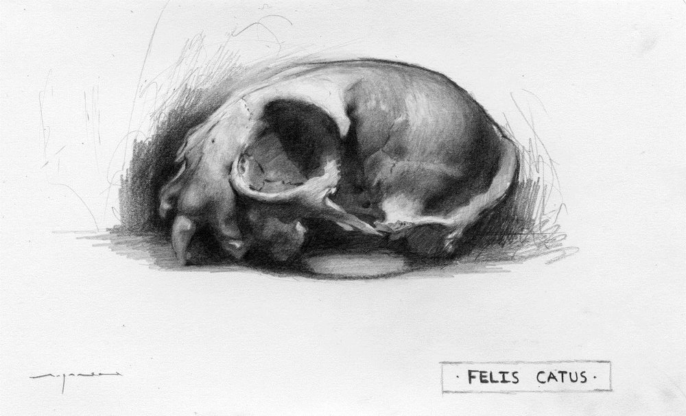 Felis Catus - 5 x 8 inches - Graphite on Paper - 6/2014