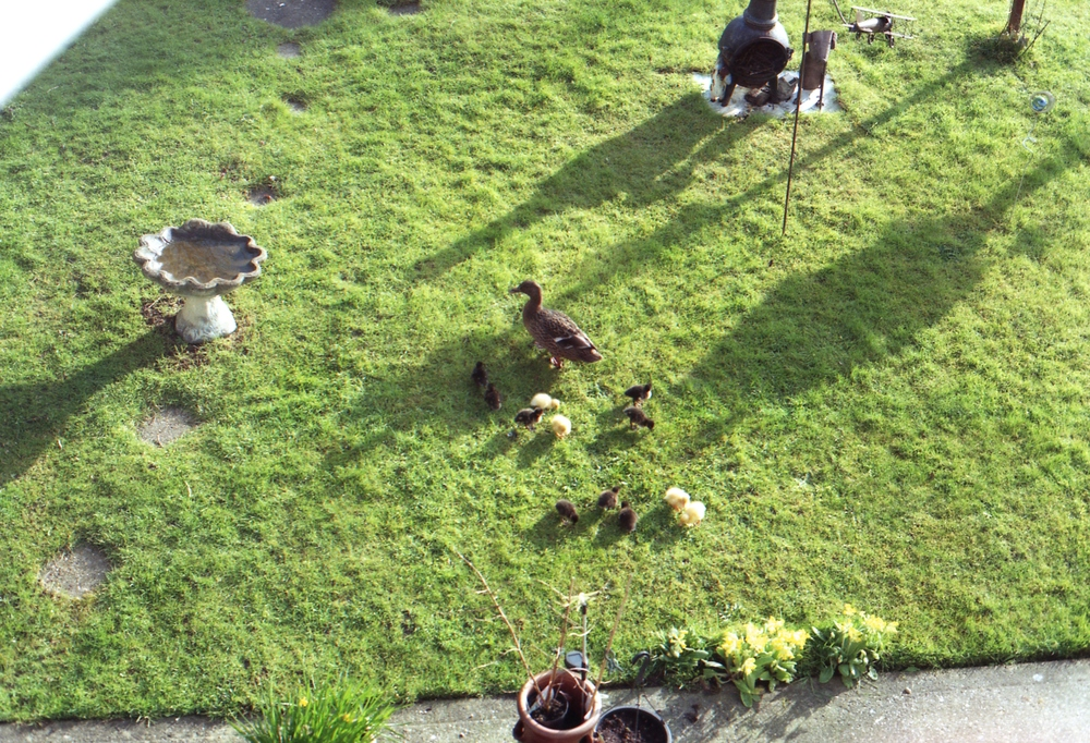 Day 96 - The cutest ducklings in Thomas's parents back garden <3