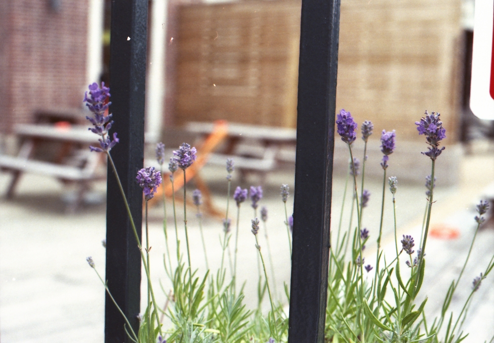 189/366 - Pretty lavender seen outside the Tetley building.