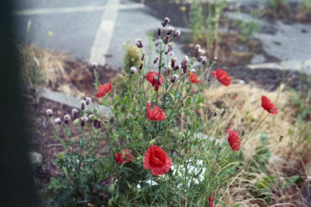 215/366 - Pretty poppies in a car park. I'm glad I took this photo as the next time I walked past they had withered.