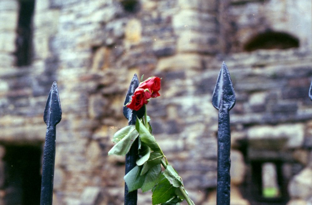 268/366 - I'm a bit bummed this isn't quite in focus but there you go. Random roses tied to the fence at the Abbey.