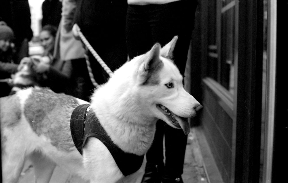 330/366/2016 - A direwolf apparently... as part of a PR campaign for a Game of Thrones themed bar in Leeds these dogs were taken around the city.