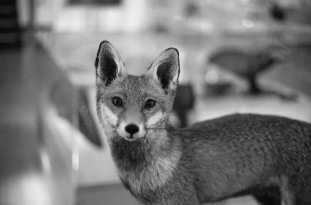 331/2016/366 - Don't worry, I didn't get this close to an alive fox, this lovely chap was in the museum in Derby and so pretty.