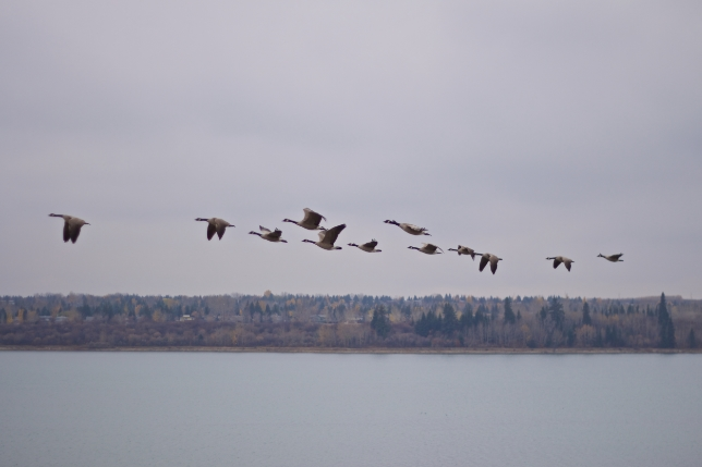 This was super cool. There was a whole bunch of Canadian Geese on the reservoir, and a couple of groups took off. This group came up to my level on the cliff above, maybe 100 feet out over the water. So stoked!