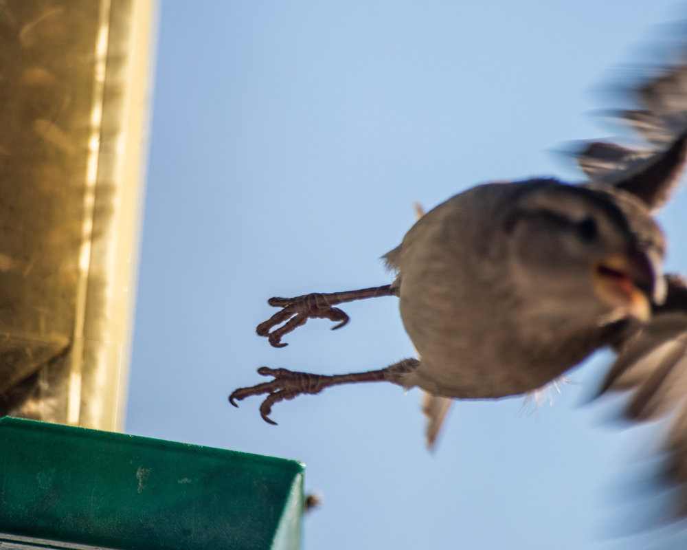 I just love these abrupt motion shots I sometimes get with birds. Not perfect technically, but so much life in them!