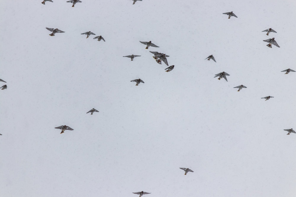 Flock of Cedar Waxwings that flew overhead.