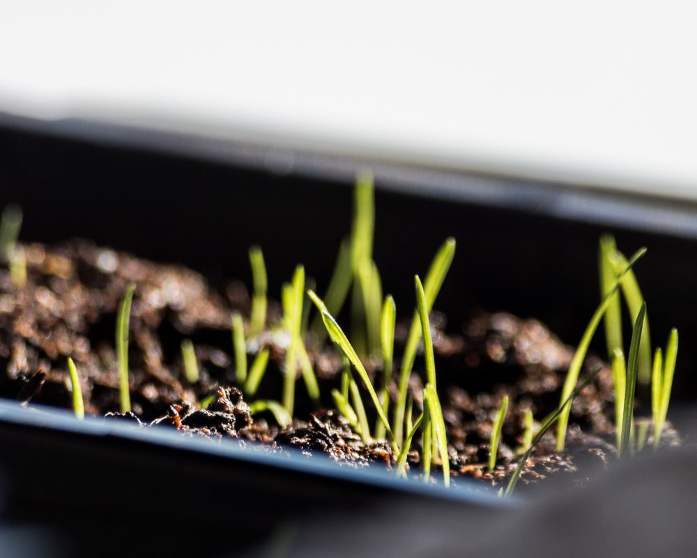 Pampas Grass seedlings