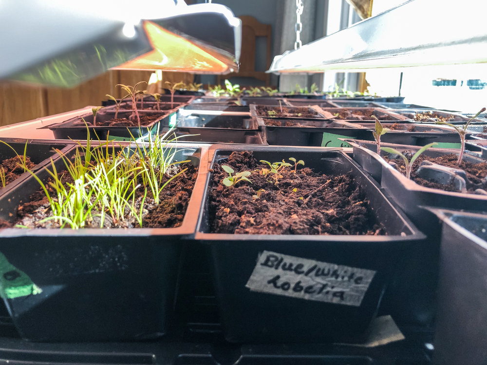 """Mum's light table set up. I took this before I transplanted the Pampas Grass and the last couple of Pansys in the tray that's labeled """"Blue/white Lobelia"""", its not Lobelia."""