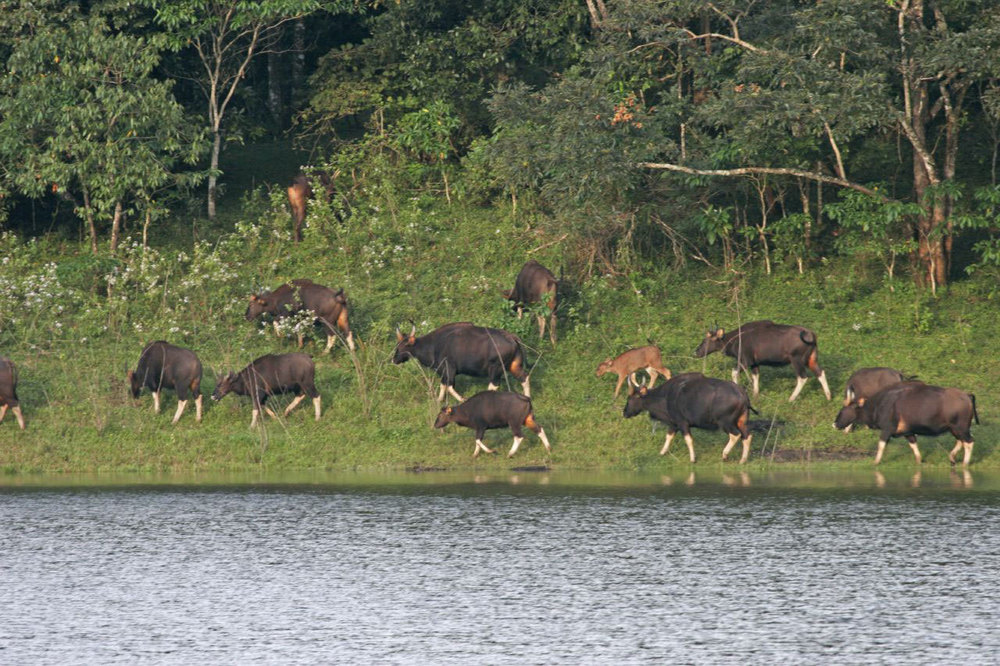 Bison at Periyar National Park, Thekkady Photo credit:  Lip Kee