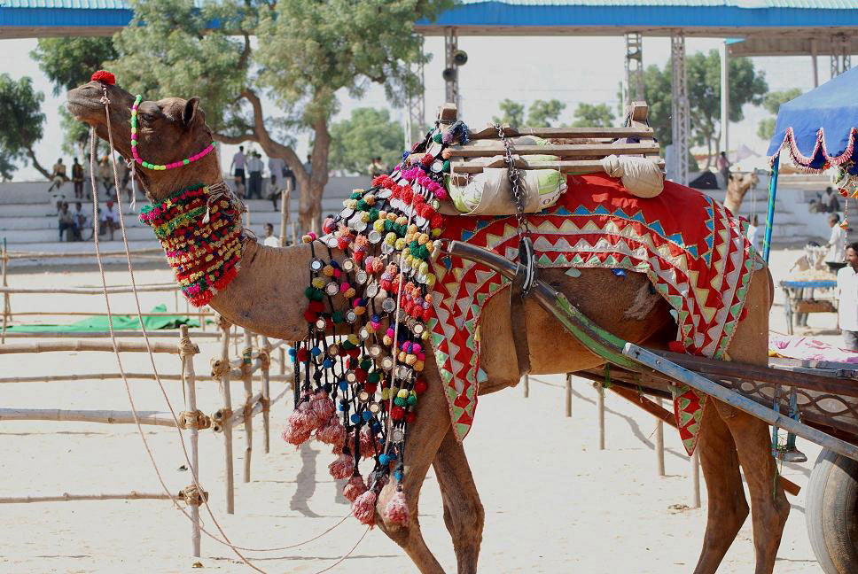 Camel at the Pushkar Fair Photo credit:  sheetal saini