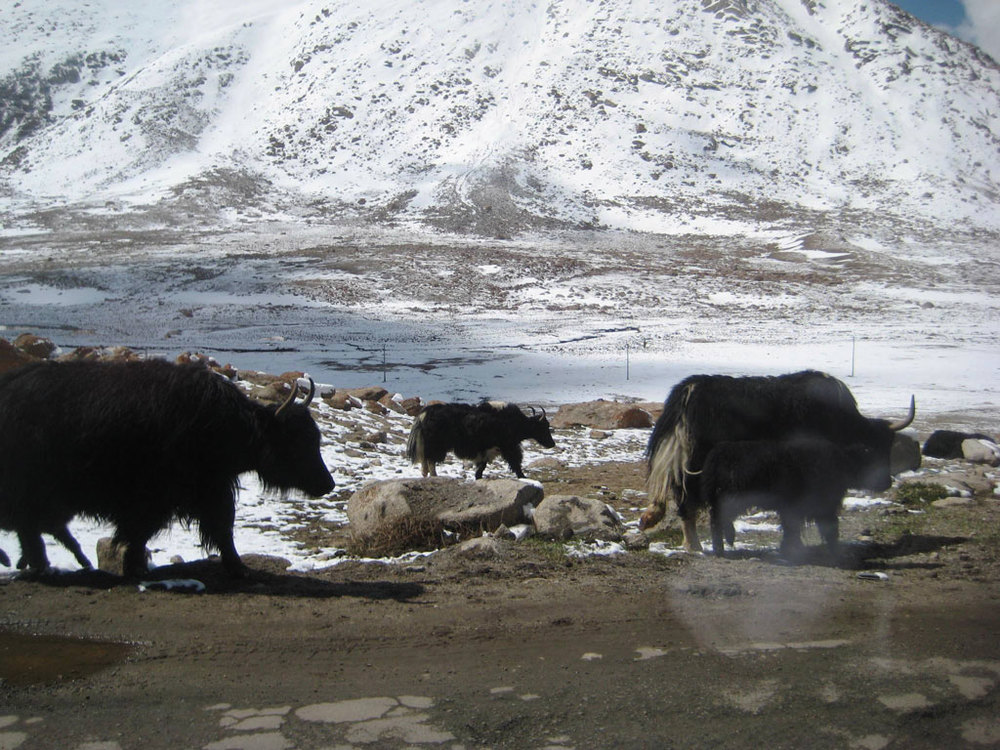 Yaks Photo credit: Tanya Viegas