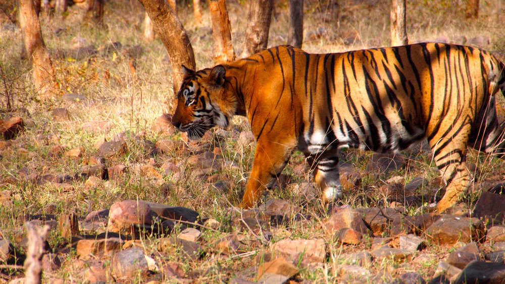 Tiger at Ranthambore Photo credit:  bjoern