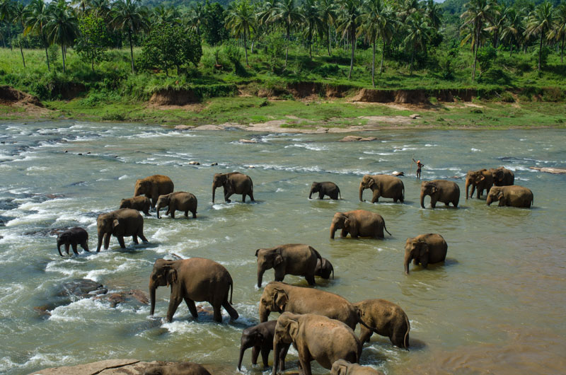 Elephants in the river at Pinnawala Photo credit:  Jan Arendtsz