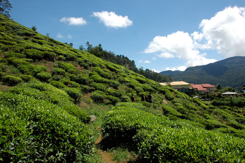 Tea plantations at Nuwara Eliya Photo credit:  Peter Pawlowski
