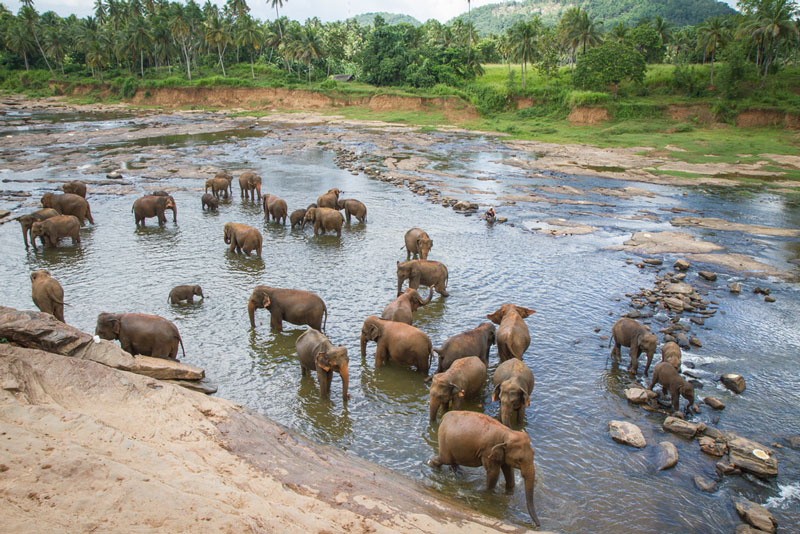Elephants bathing near the Pinnawala Elephant Orphanage Photo credit:  Joanne Goldby