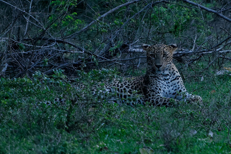 Leopard at Yala National Park Photo credit:  Ilee_wu
