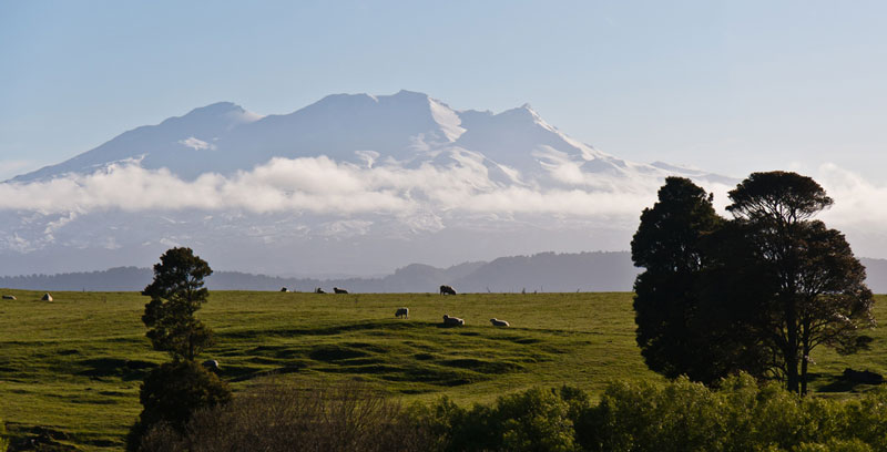 Sheep in front of Mount Ruapehu Photo credit:  Jason Pratt