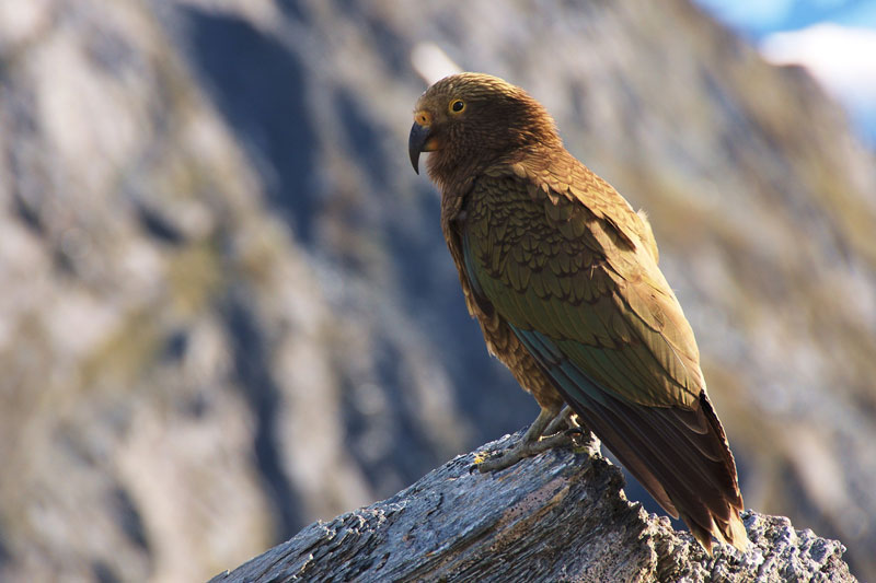 Kea Photo credit:  Tomas Sobek