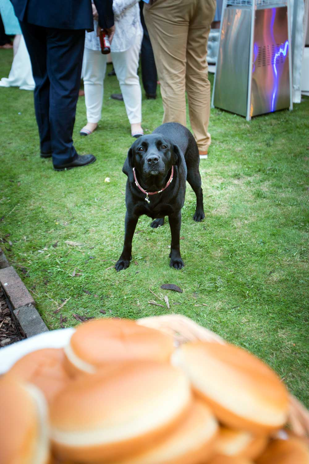 Cheeky Labrador eyeing the food.