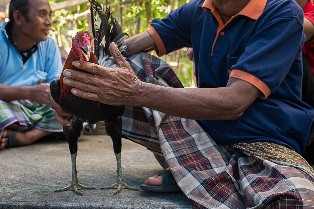 Balinese man and his gamecock
