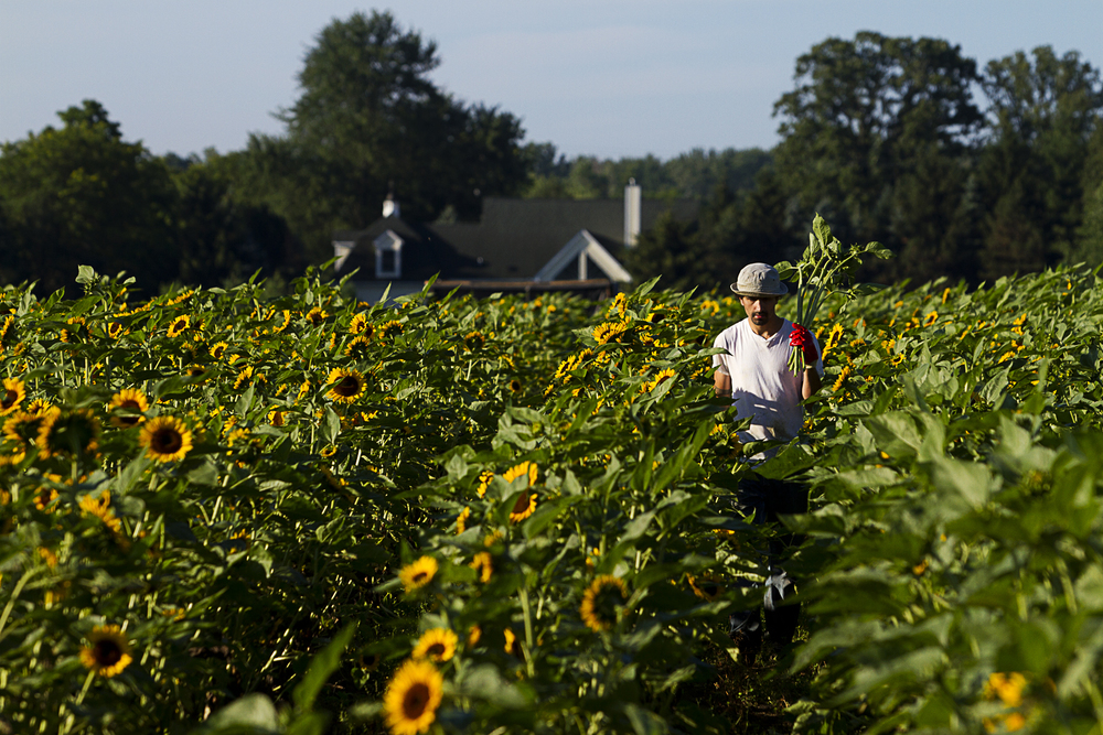 Barozzini harvesting the sunflower crop on July, 13 2013.