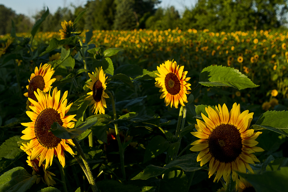 Sunflowers welcome the early morning light in Armada, MI.