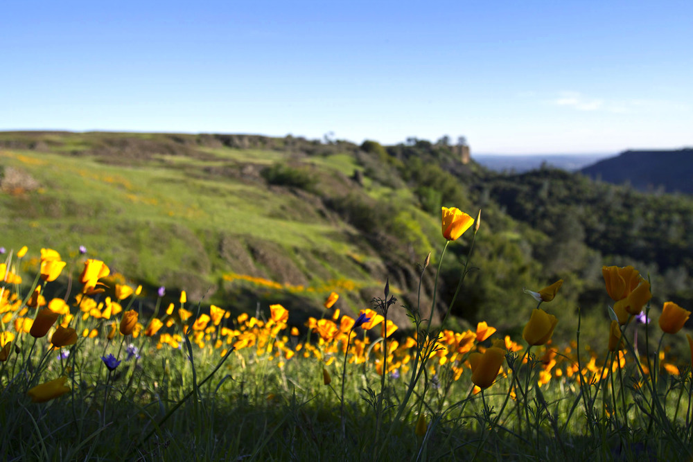 Poppies bloom on Table Mountain in Northern California - March 13, 2014