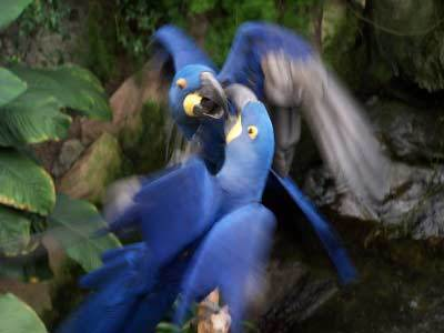 The hyacinth macaw,deep cobalt blue in colour, found in Brazil.