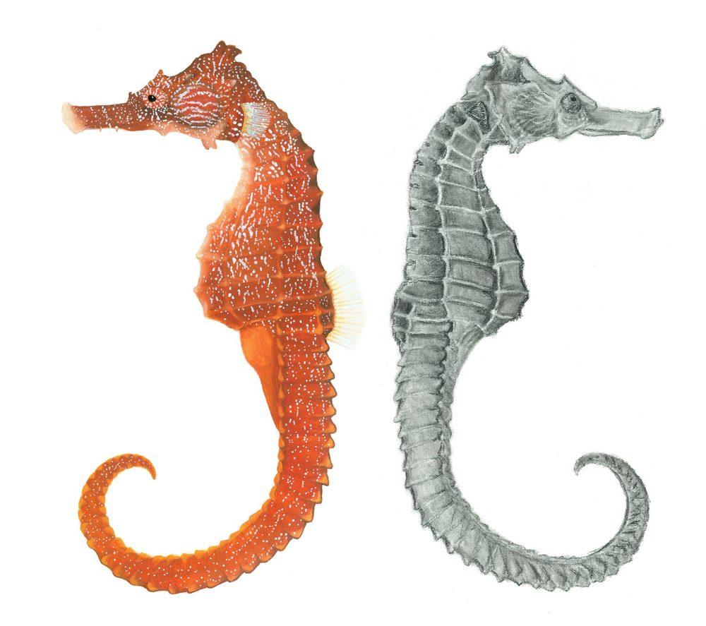 Pacific seahorse, Hippocampus ingens