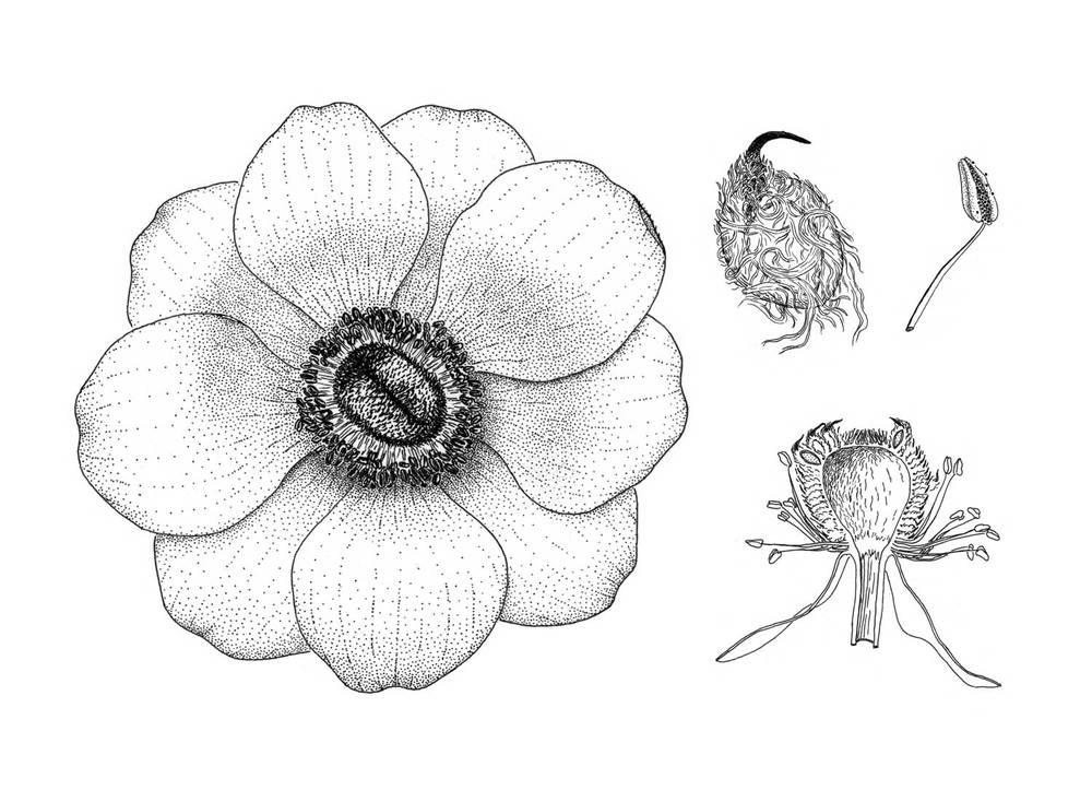 Anemone, Anemone cornonaria