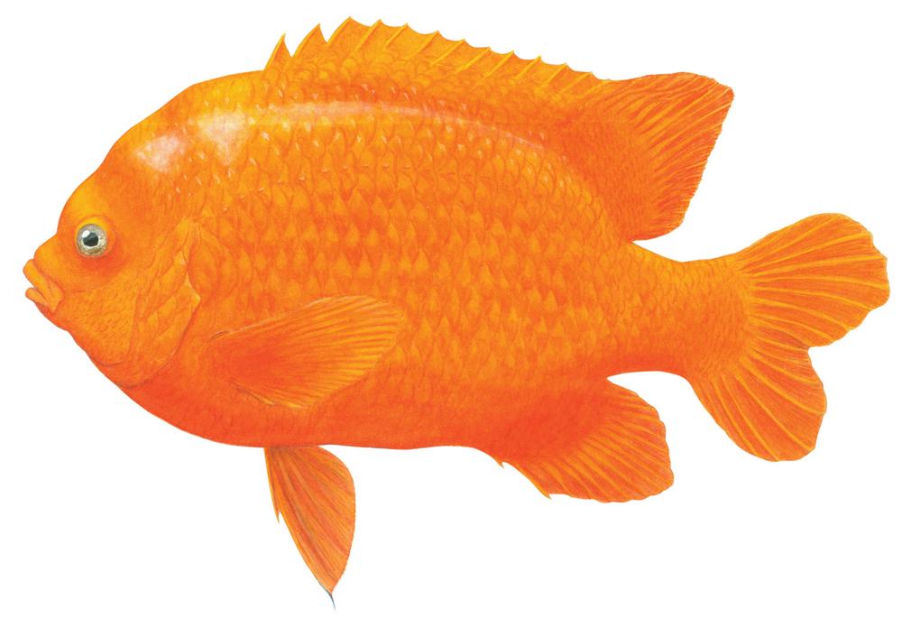 Garabaldidamselfish,  Hypsypops rubicundus