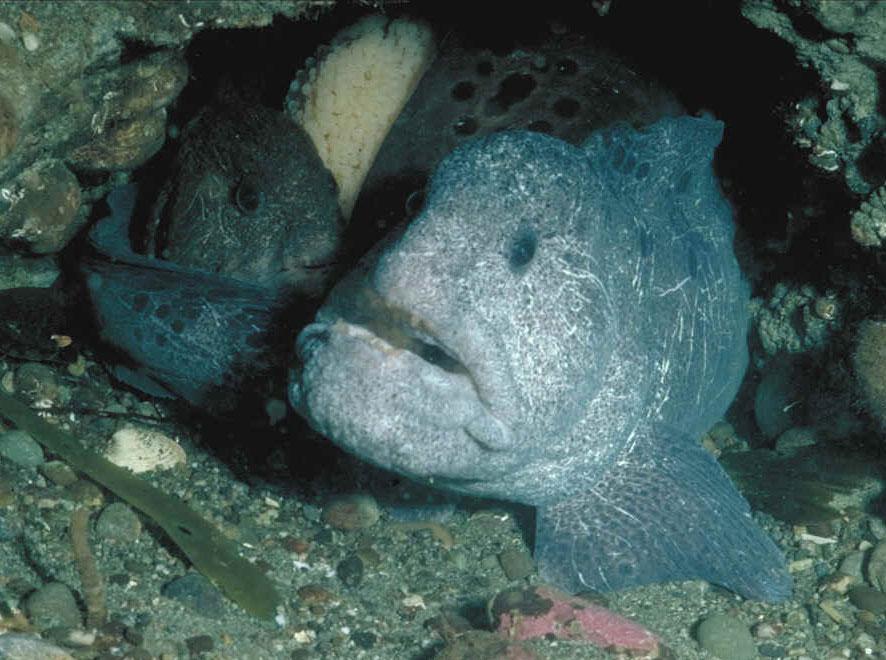 Wolf eels via Wikimedia and NOAA