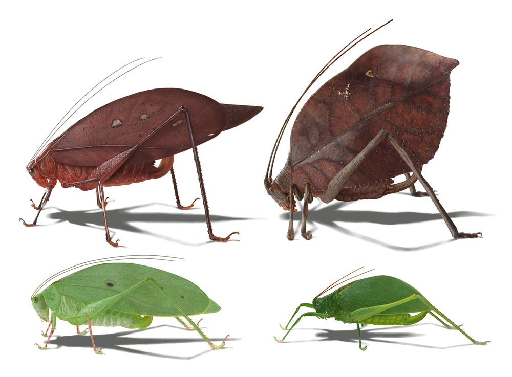 Four detailed realistic illustrations of four species from Barro Colorado Island, Panama to demonstrate syndromes (suits of congruently evolved traits) versus the how closely the katydid was related.